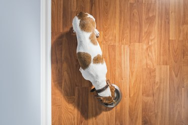 Overhead view of a Dachshund eating indoors next to wall - Rescue Dog