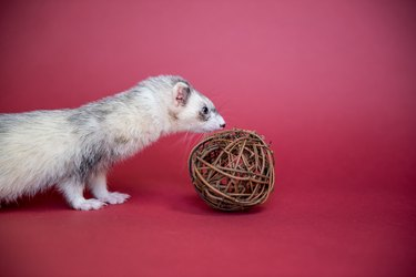 Ferret indoor portrait with a wood ball.