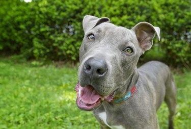 Blue nose pitbull dog