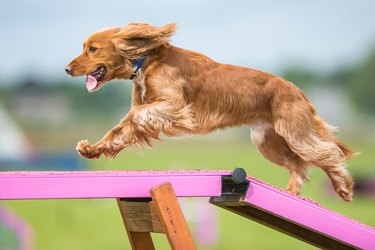 Dog running in an agility course