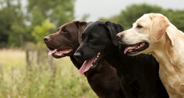 three labradors side by side in a field