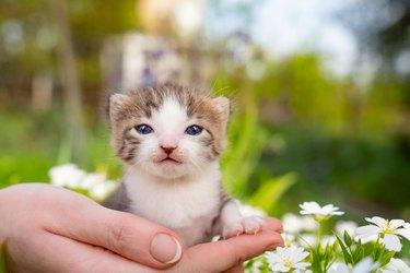 Cute newborn kitten meows in hands of a person in flowers. Pets