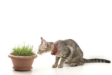 An Isolated Striped Cat Sitting and Smelling to Grass in Pot