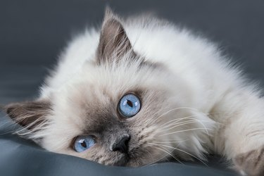 Fluffy kitten with blue eyes. Close up.