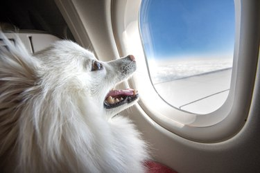 Dog on an airplane