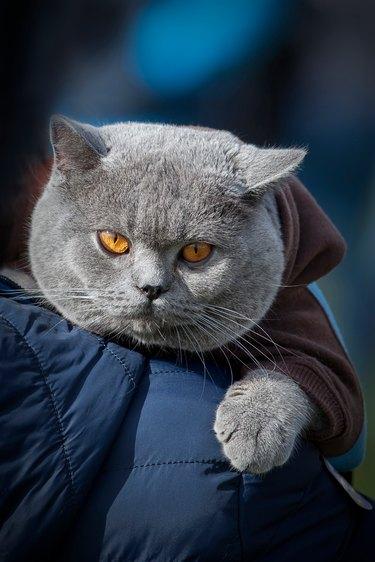 British Shorthair cat in blue