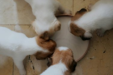 Directly Above Shot Of Puppies Drinking Milk In Container At Home