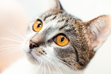 Surprised cat muzzle with yellow eyes looks up