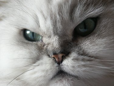 closeup of white cat face looking angry