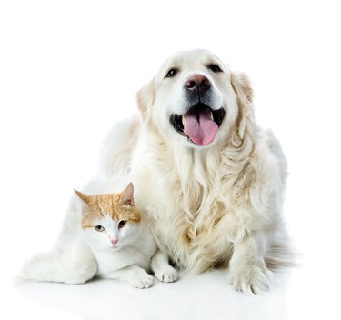 golden retriever dog embraces a cat. isolated on white background