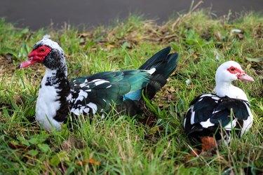 Muscovy duck (Cairina moschata)