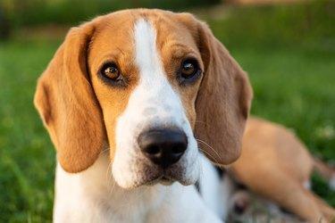cute beagle on grass looking at camera
