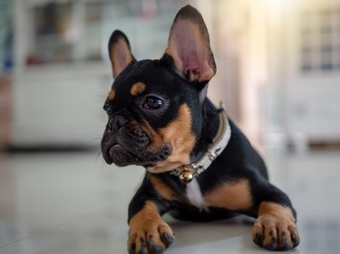Cute French Bulldog Puppy Dog Lying Down And Looking Up.