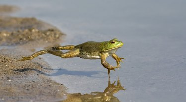 Adult American bullfrog (Lithobates catesbeianus) jumping in a forest lake