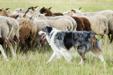 Border collie dog herding a flock of sheep