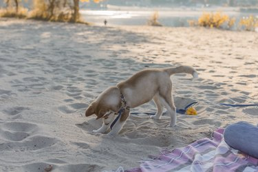 Husky puppy is digging a hole on the beach.
