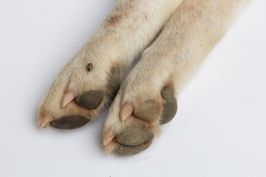 Cropped Image Of Dog Paw With Louse Over White Background