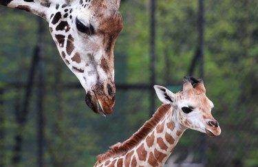 Baby Elephant Born At Hamburg Zoo