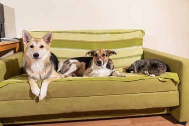 Dogs and sleeping cat resting on sofa