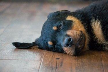 Rottweiler puppy asleep on the floor