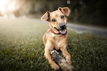 Mutt dog playing with a stick