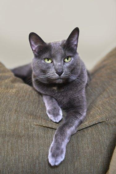 Korat Cat Resting on Sofa