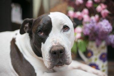 sweet pit bull dog