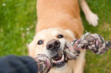 Dog playing with rope toy on grass