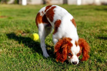 Very playful dog breed King Charles Cavalier. This dog run with tenis ball in the garden.