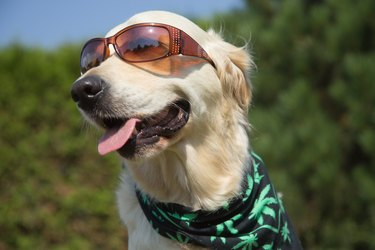 Smiling Golden Retriever with sunglasses and marijuana leaf bandana