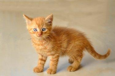 Portrait Of Cute Kitten Standing On Floor