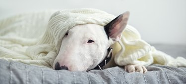 A cute tender white English bull terrier is sleeping on a bed under a white knitted blanket.