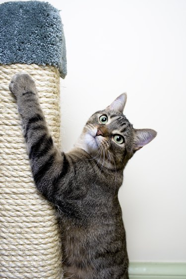 Cat hanging on Scratching Post