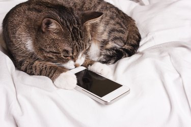 cat looks into the phone