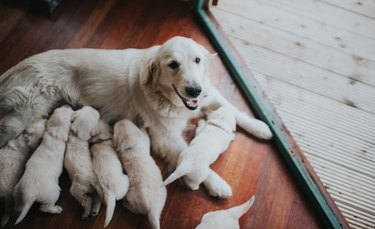 Golden Retriever with her litter.