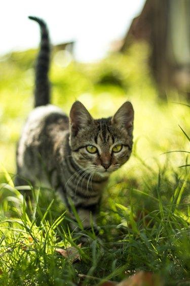 cat walking in tall grass
