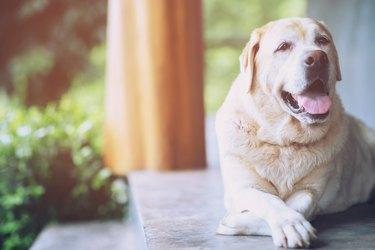 senior golden retriever dog lying down on porch
