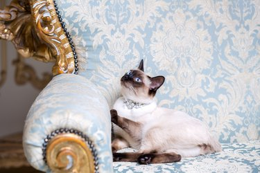 a two-color cat without tail of Mekong Bobtail breed with a jewel a precious necklace of pearls around his neck sits on a retro baroque chair in a royal French interior. Theme is luxurious and rich