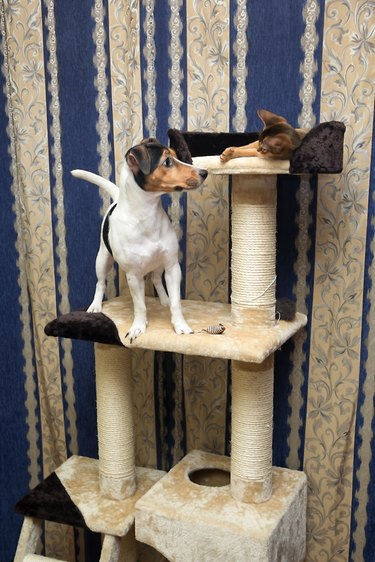 cat and dog playing on the top of Cat Tree