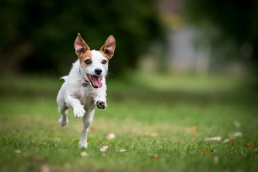 A Jack Russell running in a park