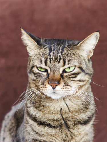 Very angry cat with a narrowed green eye. Looks haughty and evil