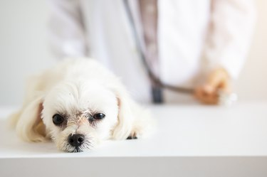 Puppy with vet in background