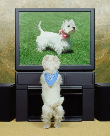 Male dog watching female dog on television (Digital composite)