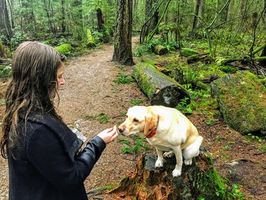 A woman about to feed her pet yellow lab a dog treat while walking in pacific spirit regional park. Vancouver, Canada.  The dog is salivating with excitement.