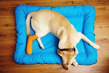 Dog with broken leg