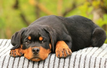Rottweiler puppy of Royal Musketeers