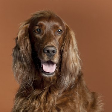 Close-up of Irish Setter, 5 years old, in front of brown background