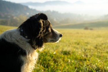 Cute small shepherd dog in the grass on meadow during sunrise.