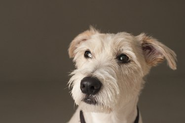 Thinking Dog - Jack Russell Terrier