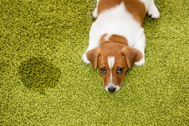 Puppy lying on a carpet and looking up guilty.